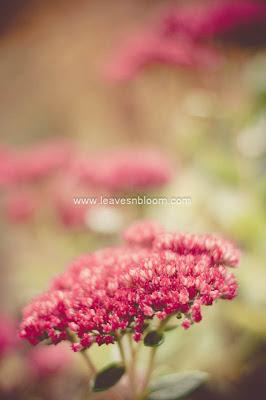 Sedum spectabile 'Autumn Joy' H5