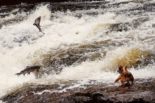 wild scottish salmon leaping on River Almond Perthshire