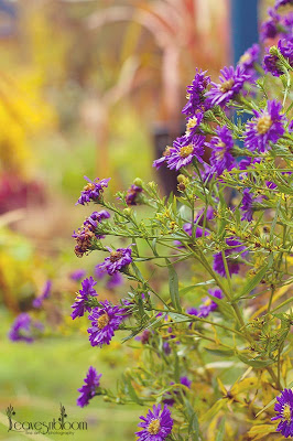 What's in bloom in November - Aster × frikartii 'Mönch' purple flowers in November