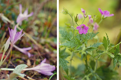 What's in bloom in November - Colchicum autumnale and Geranium oxonianum wargrave
