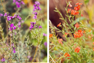 What's in bloom in November - Erysimum 'Bowle's Mauve' and Erysimum ' Apricot Delight' blooms