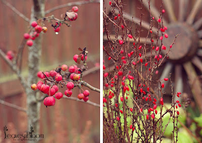 Malus and Berberis autumn red fruits