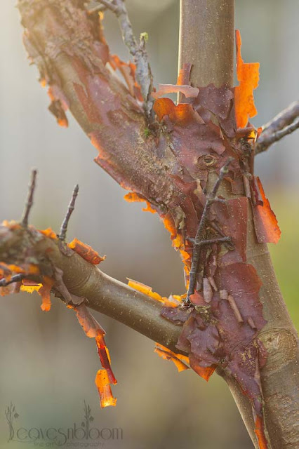 Acer griseum | Paperbark Maple peeling bark illuminated at sunset in the winter garden