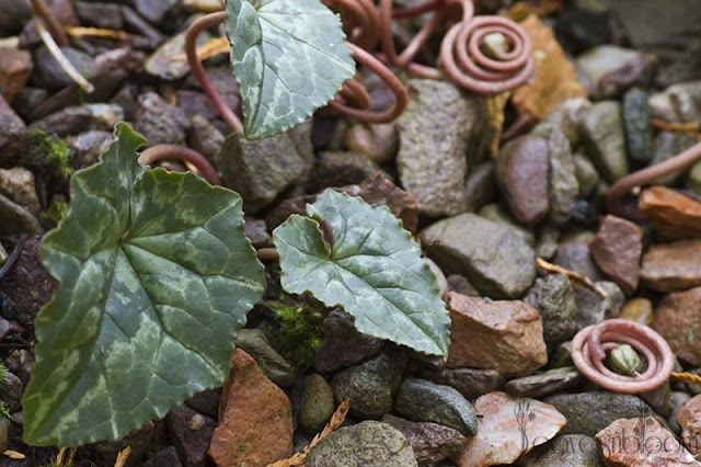Cyclamen hederifolium display their marbling leaves and coiled seed heads
