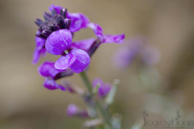 Erysimum 'Bowle's Mauve' in flower in December for winter interest