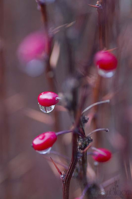 December Garden Winter Interest - Bayberry | Berberis thunbergii f. atropurpurea 'Helmond Pillar' red berries winter interest in December
