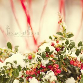 this is an image of the red berries covered in snow fromVaccinium vitis-idaea 'Red Candy'