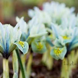 duck egg blue Iris reticulata