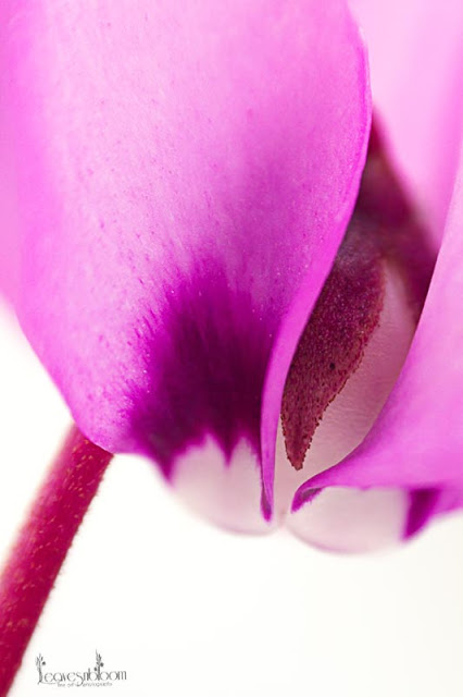 Cyclamen coum macro in the snow