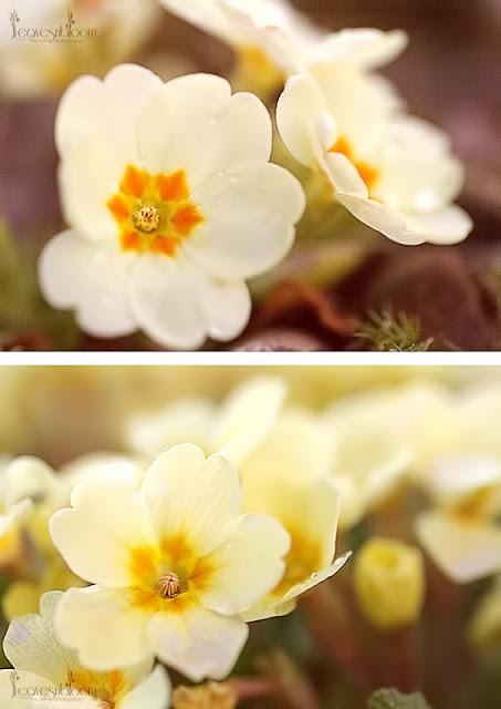 Primrose Emily and Primrose Heritage flowers