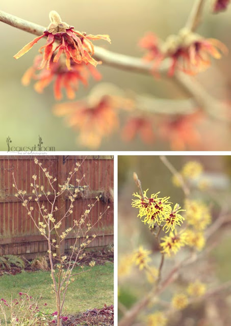 witch hazels in bloom in March