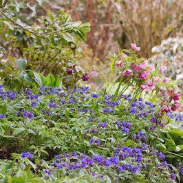 Branklyn Garden Spring flowers, blue Pulmonaria and pink Hellebores