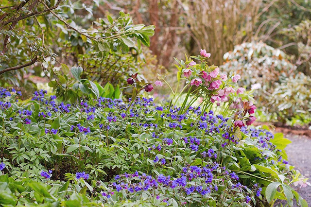 blue Pulmonaria and pink Hellebore spring flowers