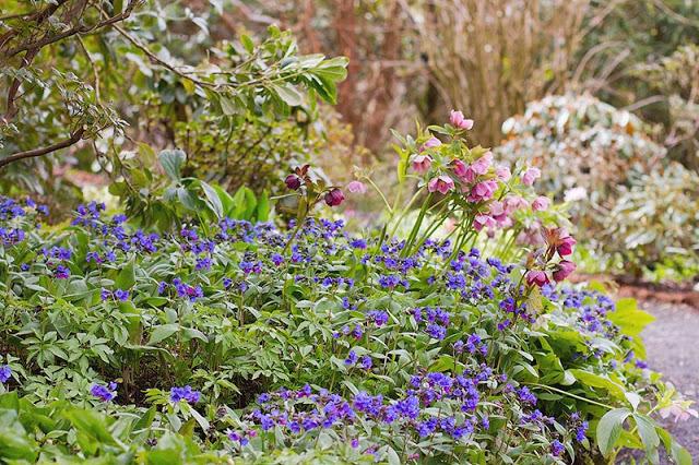 blue Pulmonaria and pink Hellebore spring flowers