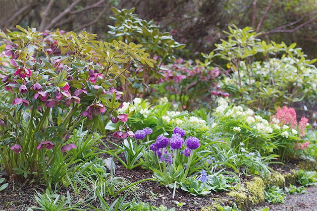 Colourful spring perennials amongst the rhododendrons
