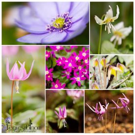 A Branklyn Garden Spring, this is an image of a collage of spring flowers from Branklyn Gardens, Perth