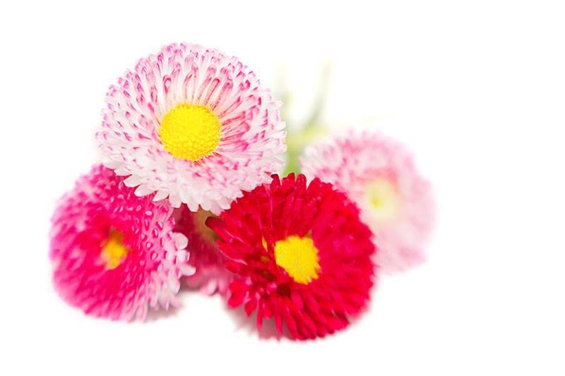 bellis high key flowers