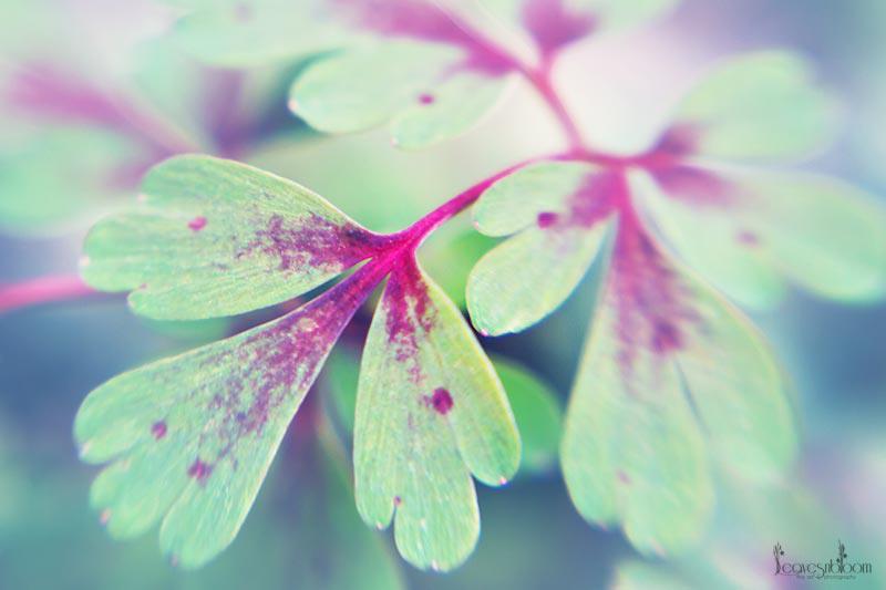 corydalis leaves