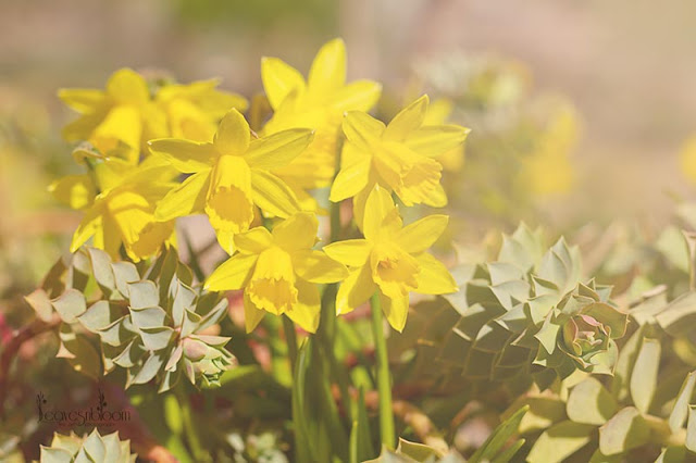 yellow Narcissus Tete-a-tete daffodils with Euphorbia mysinites which normally is in flower at this time of year.