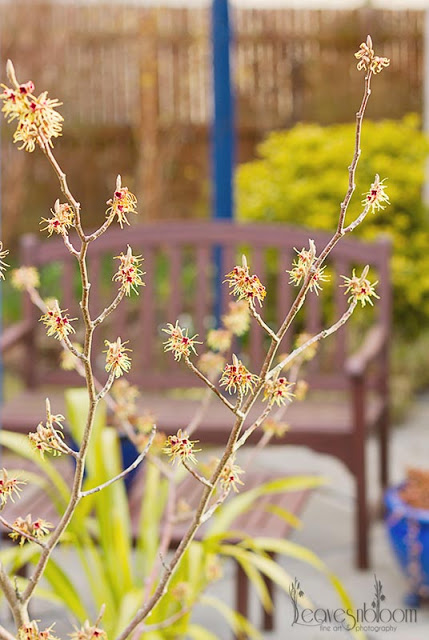 this is an image of witch hazel pallida pale yellow flowers