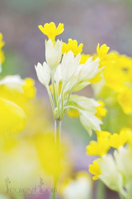 yellow cowslip Primula veris 'Cabrillo'