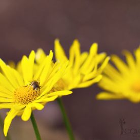 what's in bloom in May - Doronicum yellow flowers