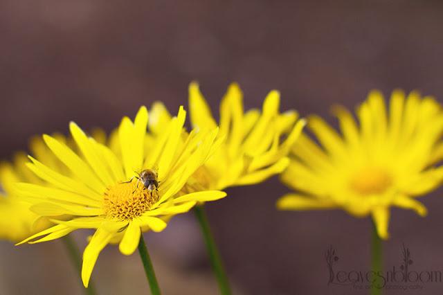 yellow daisy flowers Doronicum orientale 'Leonardo' leopards bane