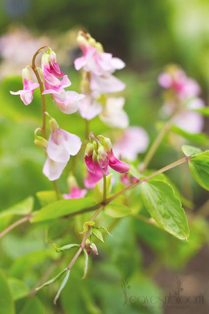 Lathyrus vernus 'Alboroseus spring pea pink flowers