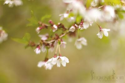 cherry blossom Prunus incisa 'Kojo-no-mai'