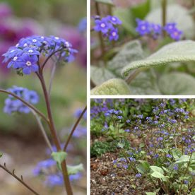 blue brunnera flowers