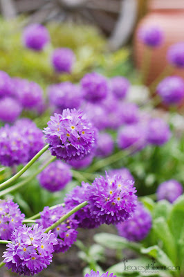 this is an image of purple drumstick primula's - Primula denticulata