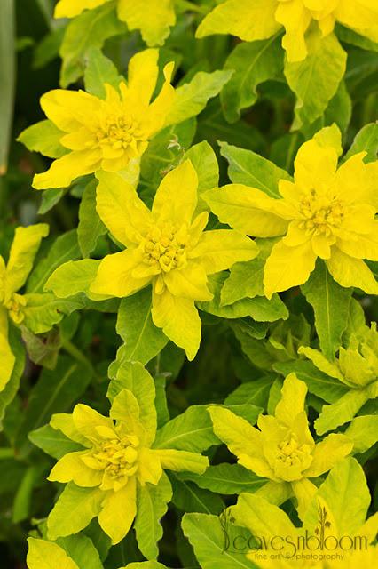 Yellow spurge Euphorbia epithymoides, syn. E. polychroma