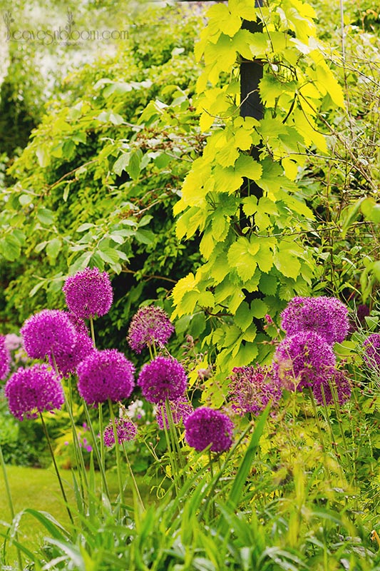 Perthshire flowers Allium hollandicum 'Purple Sensation' June