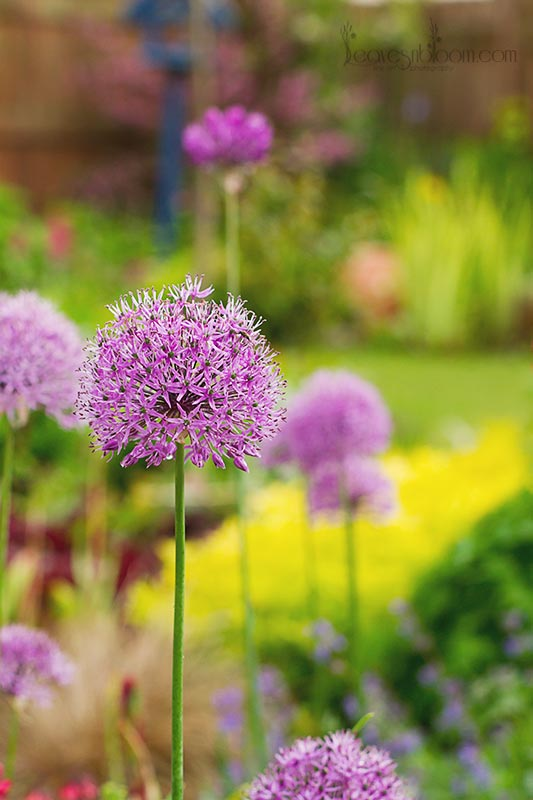 mauve flowers Allium hollandicum aflatunense | June