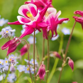 this is an image of deep pink Aquilegia flowers