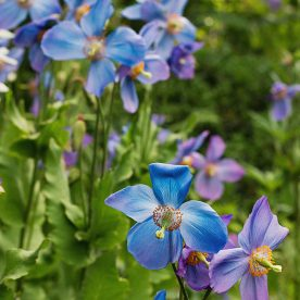 how to grow meconopsis plants - blue poppies