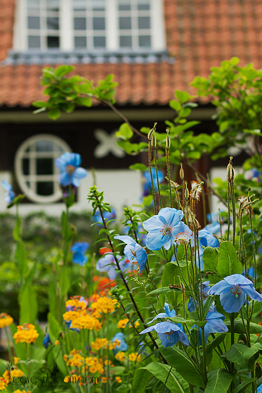 Blue poppies growing in front of Renton's home at Branklyn Garden