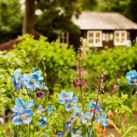 Blue Meconopsis Poppies