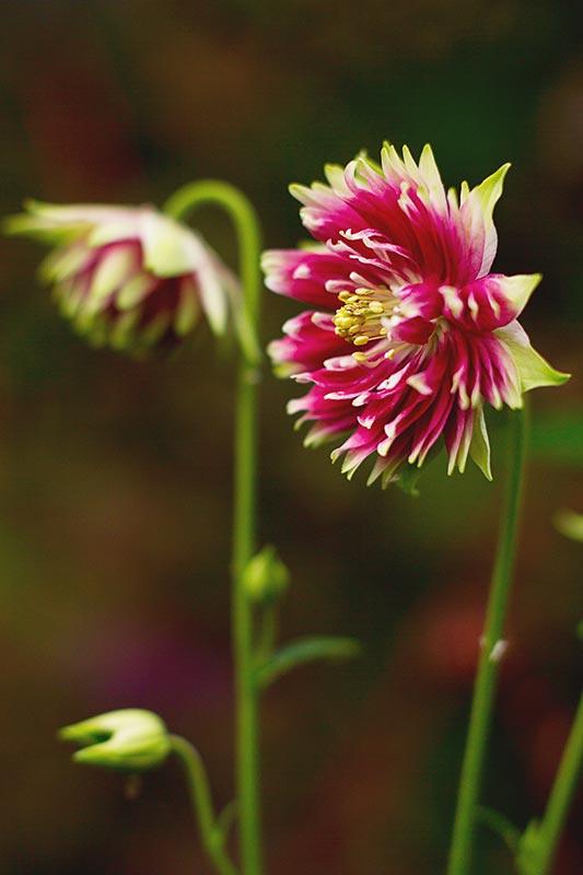 Aquilegia vulgaris var. stellata 'Nora Barlow'