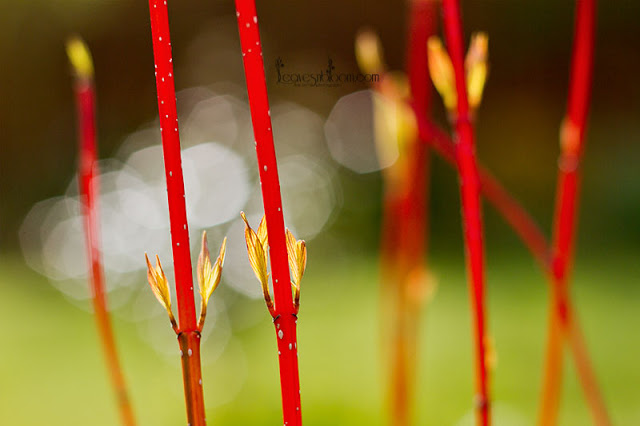 red stems from Cornus alba 'Baton Rouge'