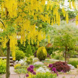 what's in flower in June - yellow laburnum tree