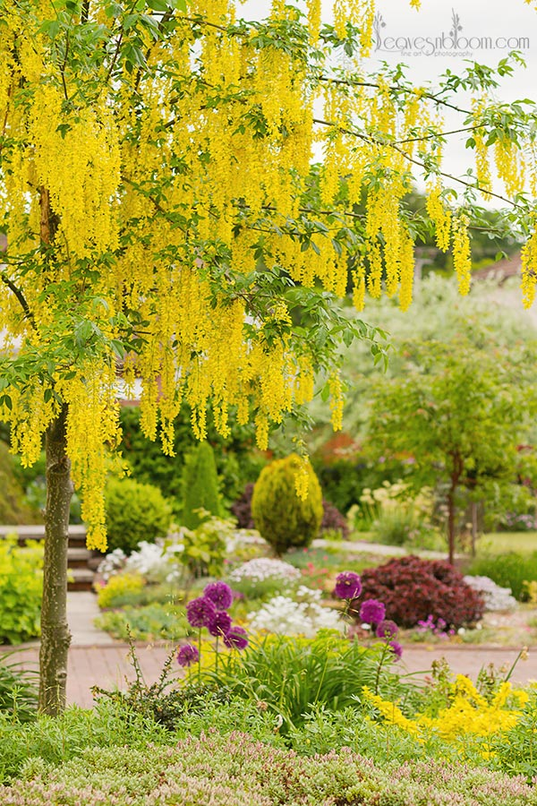 Yellow rain tree in Perthshire Laburnum x watereri 'Vossii' - what's in bloom in June