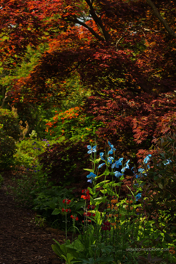 blue Meconopsis poppies growing alongside Acers and Primulas