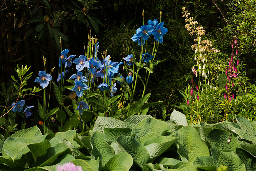 meconopsis growing alongside hostas