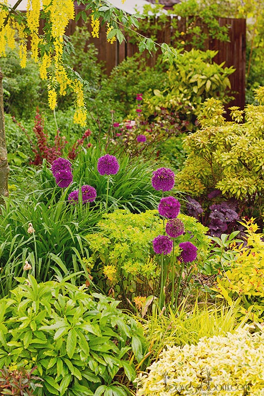what's in bloom in June - Allium hollandicum 'Purple Sensation'
