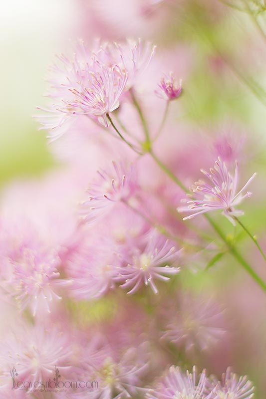 pink purple Meadow Rue | Thalictrum aquifolium flowers June Perthshire Scotland