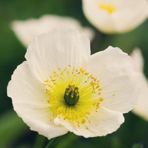 a white icelandic poppy