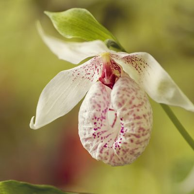 Cypripedium formosanum, a hardy woodland orchid with pleated leaves and a white and pink pouch.
