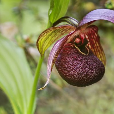 Cypripedium tibeticum in early summer