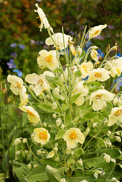 yellow Meconopsis poppies Meconopsis napaulensis (ofhort)